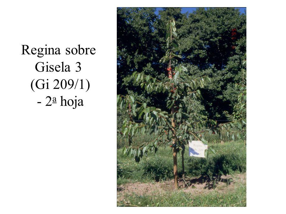 Experiencias con portainjertos enanizantes para cerezos en el Norte de Alemania Bajo condiciones vigorosas (suelos pesados, agua suficiente, variedades vigorosas) el portainjerto Gisela 5 se comporta muy bien.