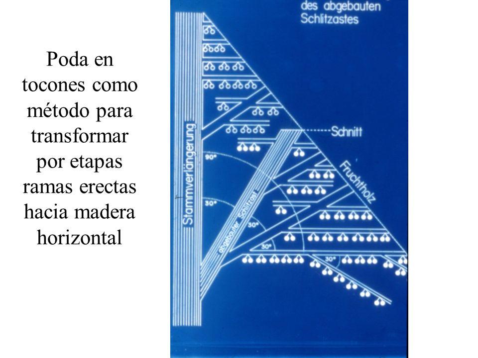 Poda en tocones como método para transformar por etapas ramas erectas hacia madera horizontal