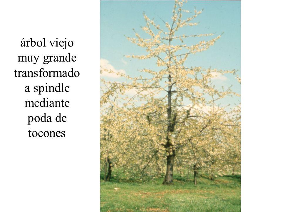 árbol viejo muy grande transformado a spindle mediante poda de tocones