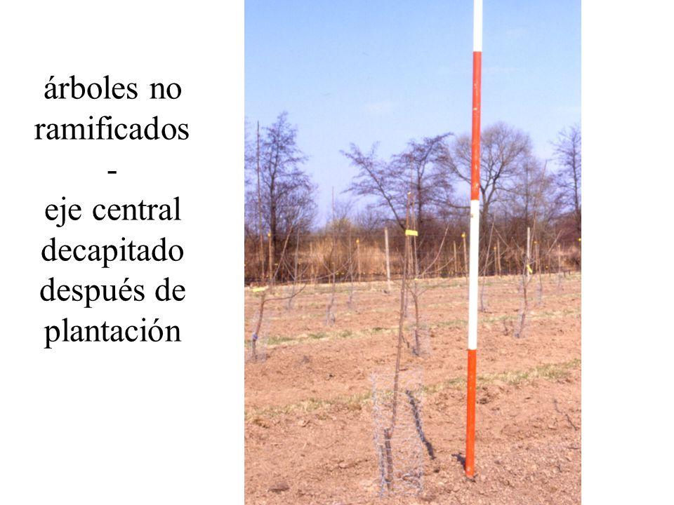 árboles no ramificados - eje central decapitado después de plantación
