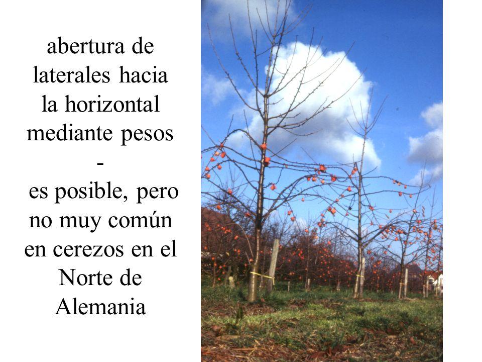 abertura de laterales hacia la horizontal mediante pesos - es posible, pero no muy común en cerezos en el Norte de Alemania