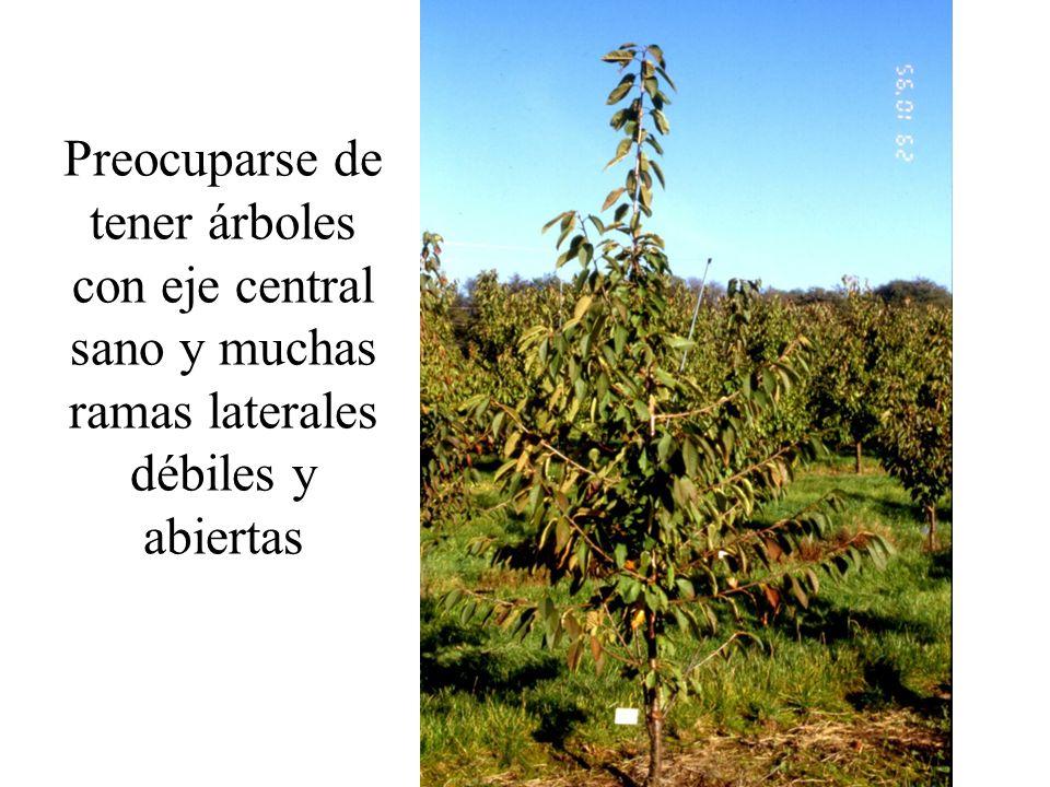 Preocuparse de tener árboles con eje central sano y muchas ramas laterales débiles y abiertas