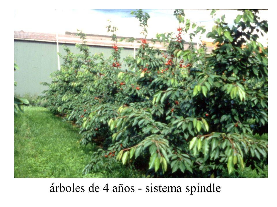 árboles de 4 años - sistema spindle