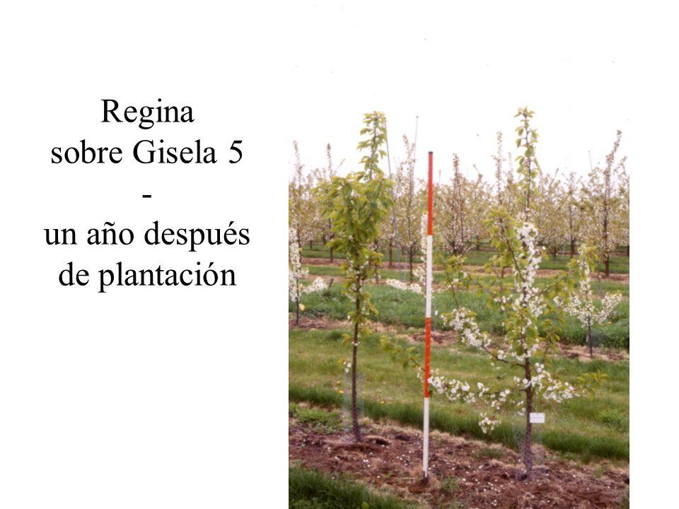 Regina sobre Gisela 5 - un año después de plantación