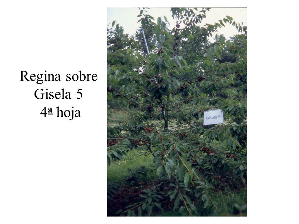 Regina sobre Gisela 5 4 a hoja