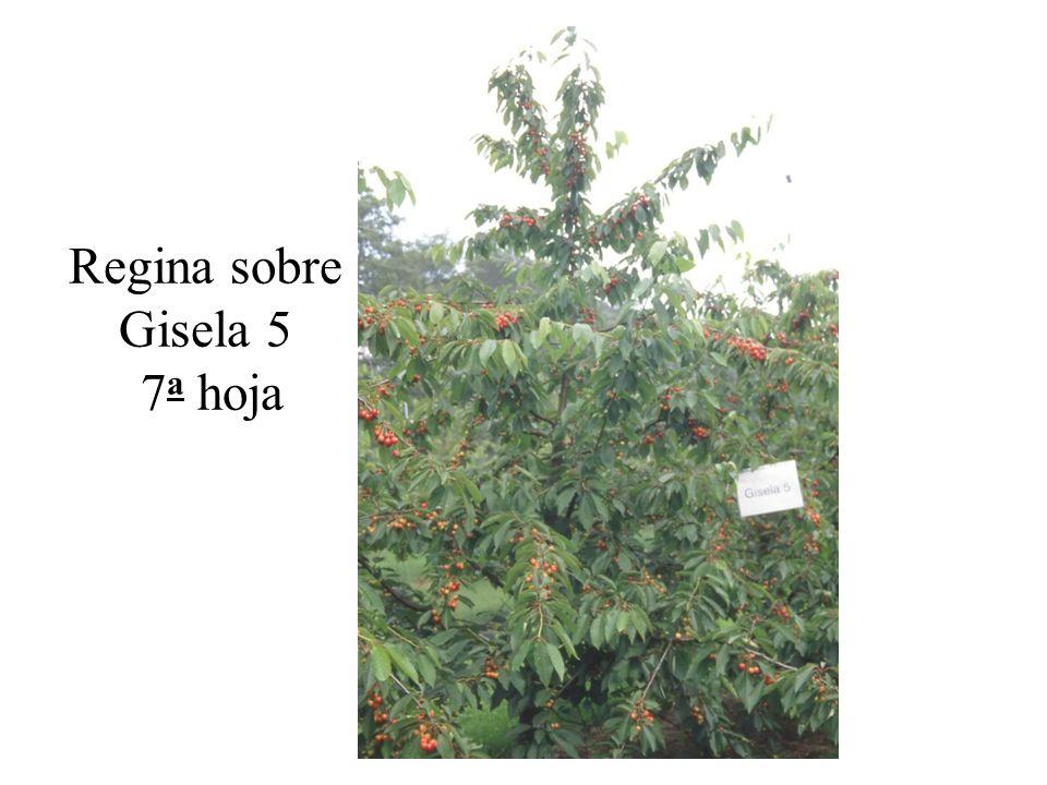 Regina sobre Gisela 5 7 a hoja