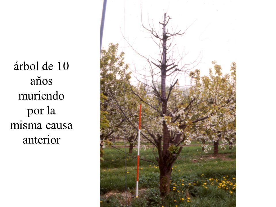 árbol de 10 años muriendo por la misma causa anterior