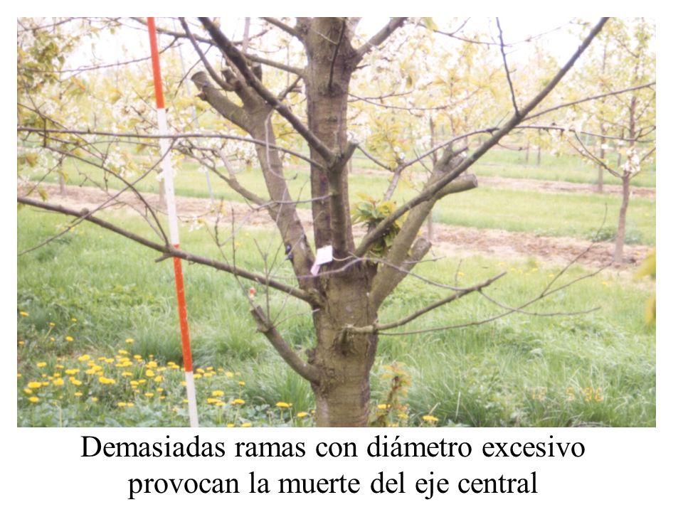 Demasiadas ramas con diámetro excesivo provocan la muerte del eje central