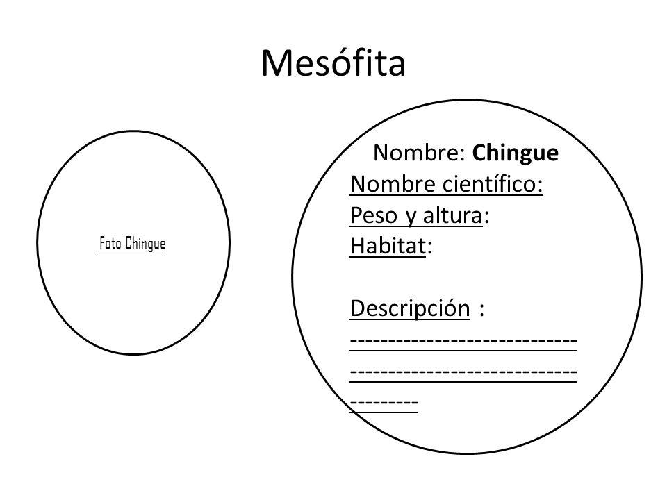 Mesófita Nombre: Chingue Nombre científico: Peso y altura: Habitat: Descripción : ----------------------------- ----------------------------- --------- Foto Chingue