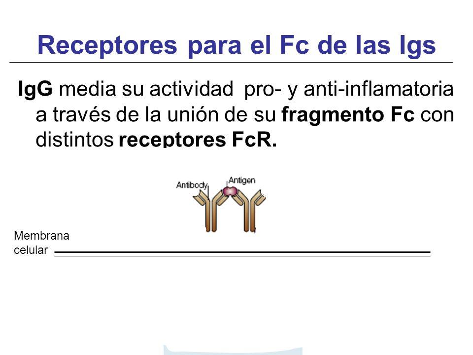 IgG media su actividad pro- y anti-inflamatoria a través de la unión de su fragmento Fc con distintos receptores FcR. Receptores para el Fc de las Igs