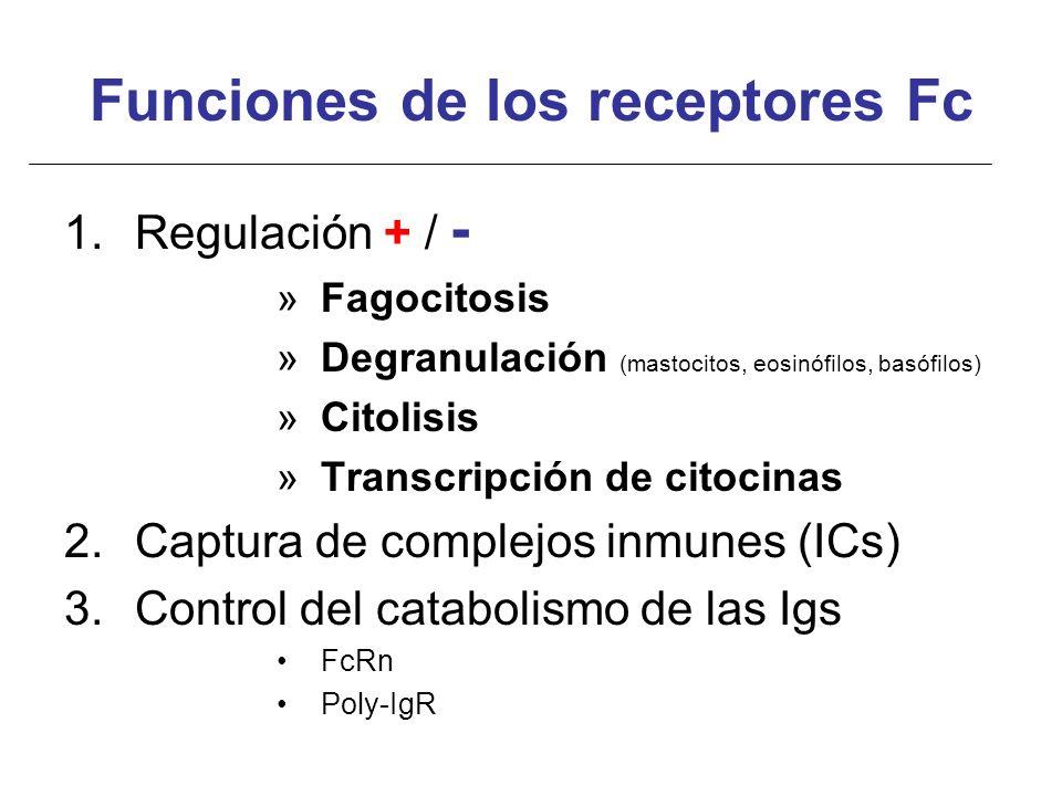 Funciones de los receptores Fc 1.Regulación + / - »Fagocitosis »Degranulación (mastocitos, eosinófilos, basófilos) »Citolisis »Transcripción de citoci