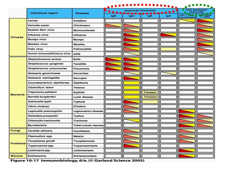 Inmunoglobulina G IgG