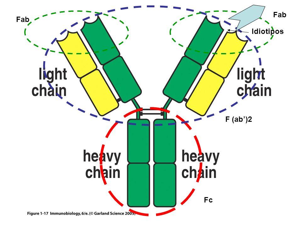 Figure 1-17 Fc F (ab)2 Fab Idiotipos