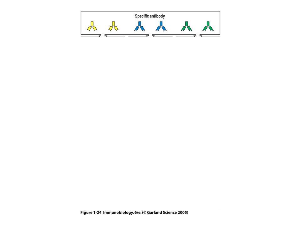 Receptores Fc enlace entre brazo inmunológico humoral y celular