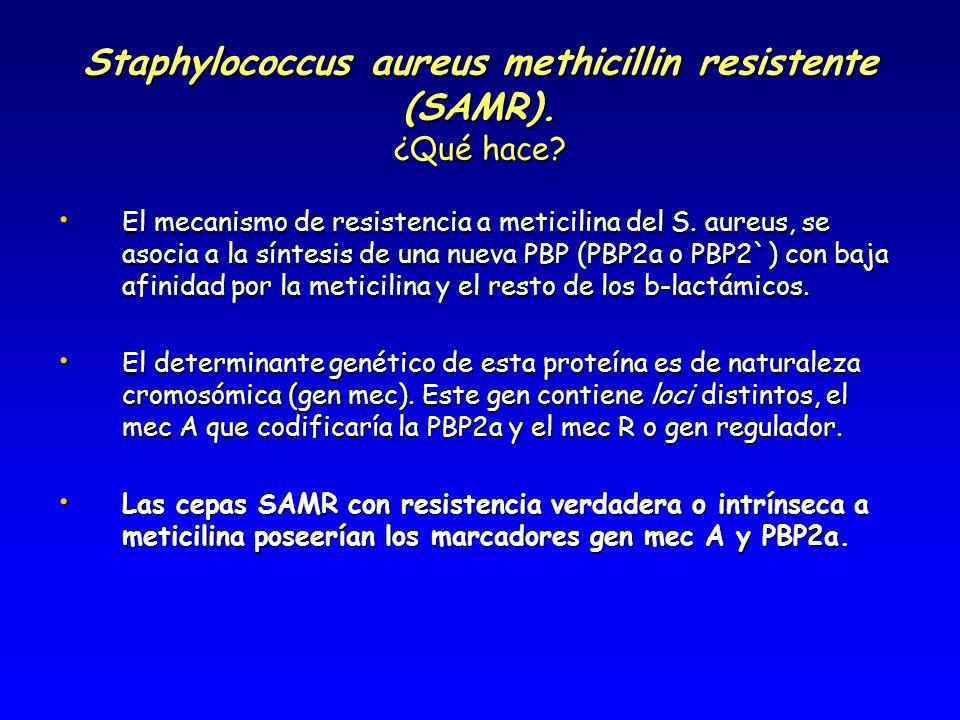 Staphylococcus aureus methicillin resistente (SAMR). ¿Qué hace? El mecanismo de resistencia a meticilina del S. aureus, se asocia a la síntesis de una