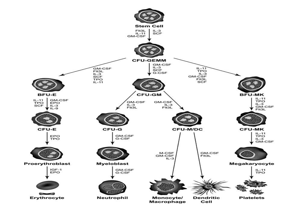 FACTOR ESTIMULANTE DE COLONIAS MACROFAGO- GRANULOCÍTICO( GM-CSF) Actúa sobre las células indiferenciadas de la MO El fisiolológico actua sobre la linea plaquetar.