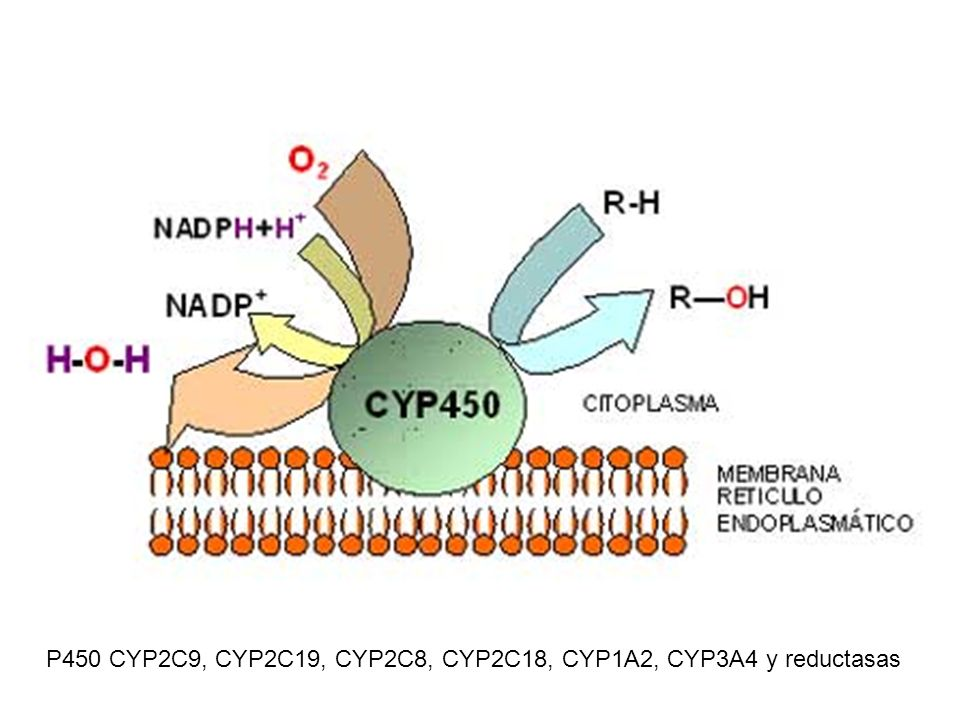 P450 CYP2C9, CYP2C19, CYP2C8, CYP2C18, CYP1A2, CYP3A4 y reductasas