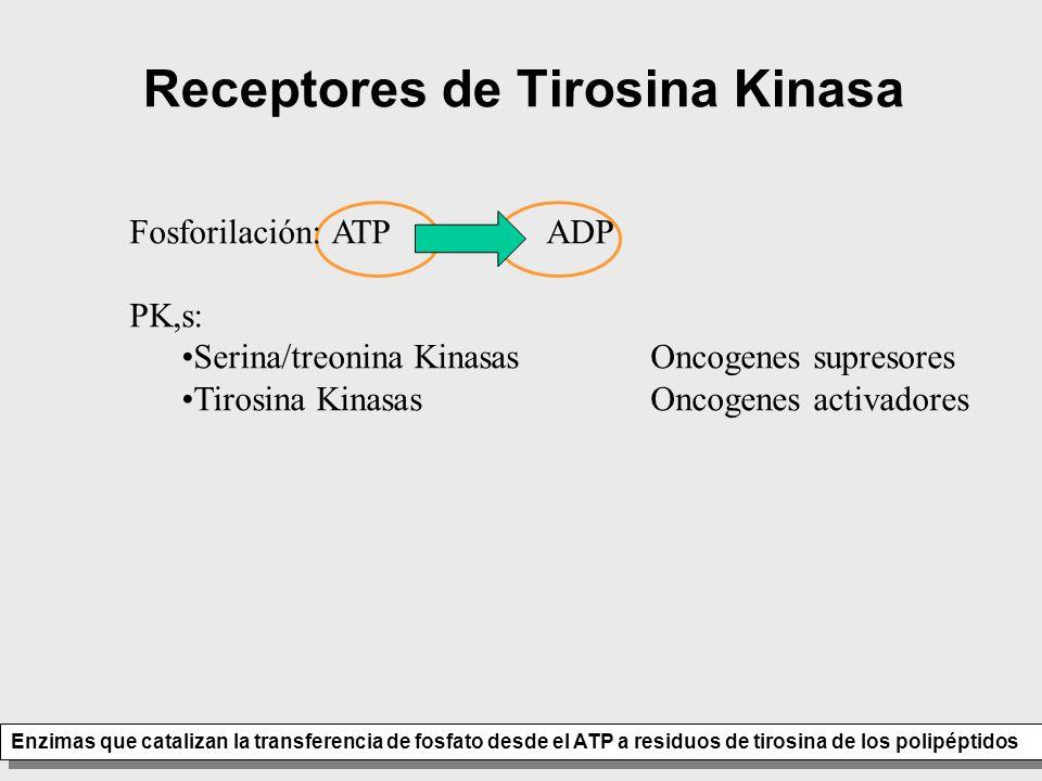 Receptores de Tirosina Kinasa Enzimas que catalizan la transferencia de fosfato desde el ATP a residuos de tirosina de los polipéptidos Fosforilación: