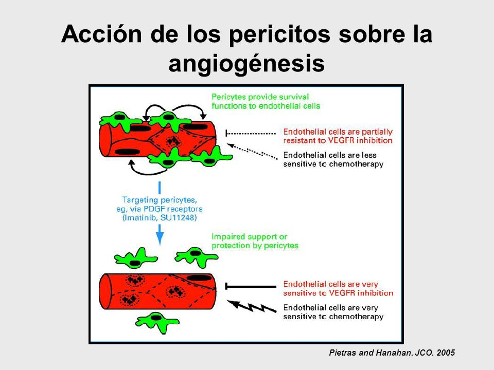 Acción de los pericitos sobre la angiogénesis Pietras and Hanahan. JCO. 2005