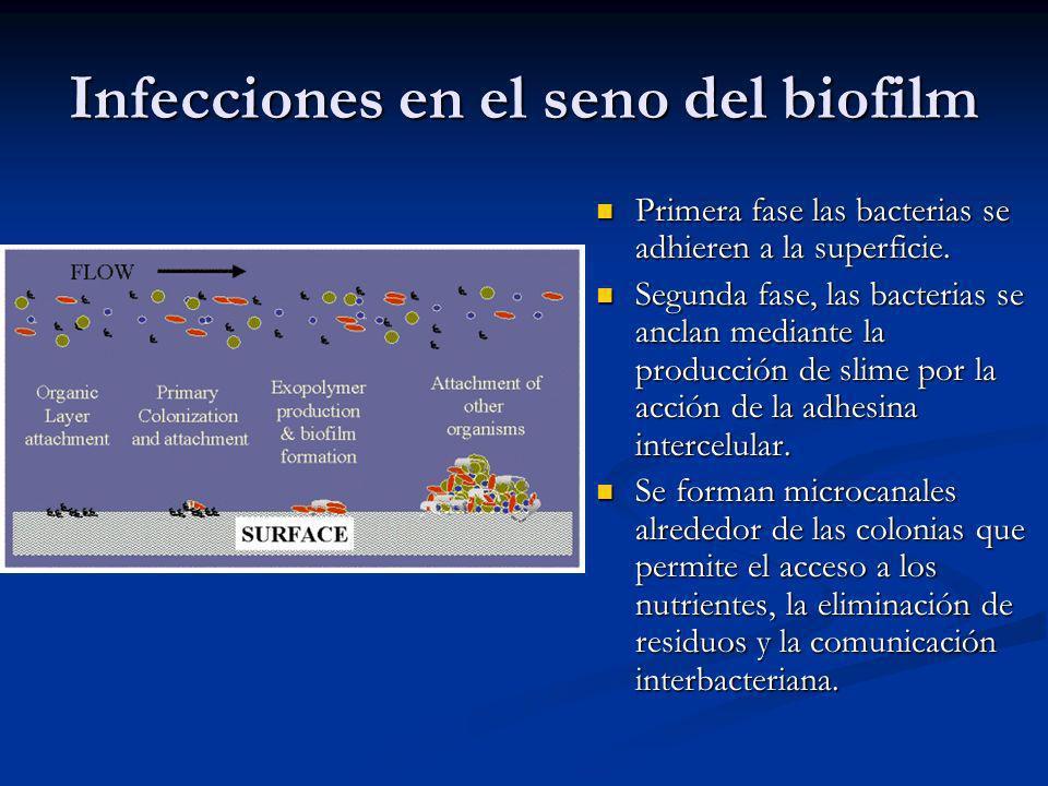Infecciones en el seno del biofilm Primera fase las bacterias se adhieren a la superficie. Segunda fase, las bacterias se anclan mediante la producció
