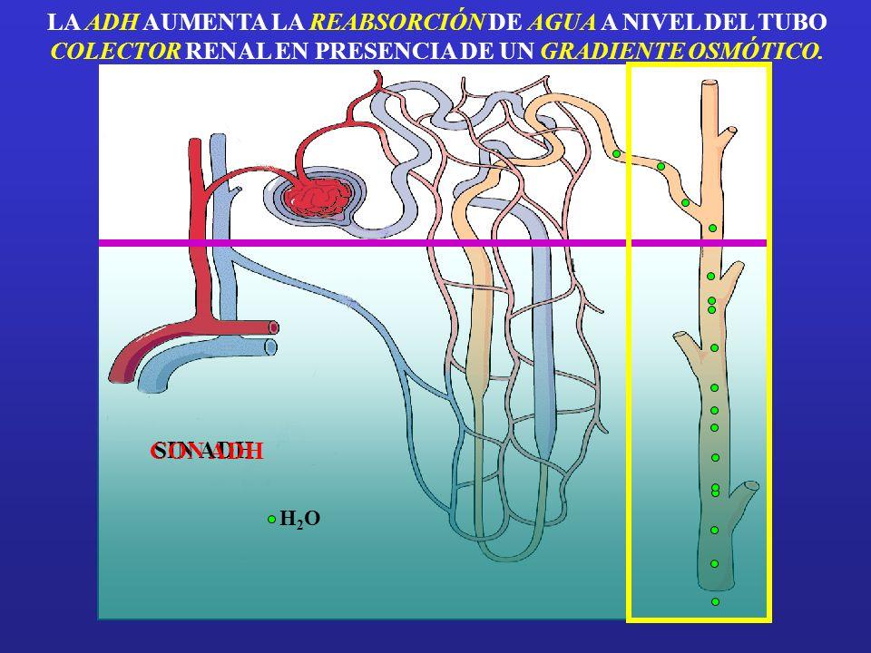 CORTEZA MEDULA zona de acción de la hormona antidiurética (ADH): tubo colector