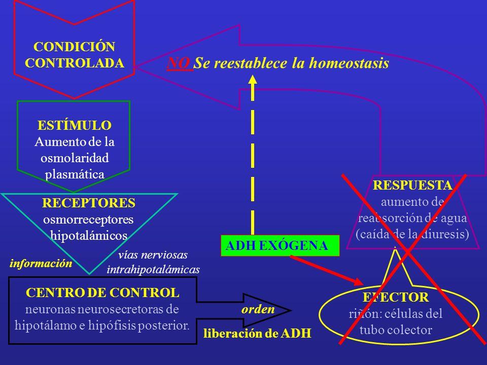 LESIÓN DEL EPITELIO TUBULAR ISQUEMIA TÓXICOS INFLAMACIÓN AUTOINMUNIDAD ETC.