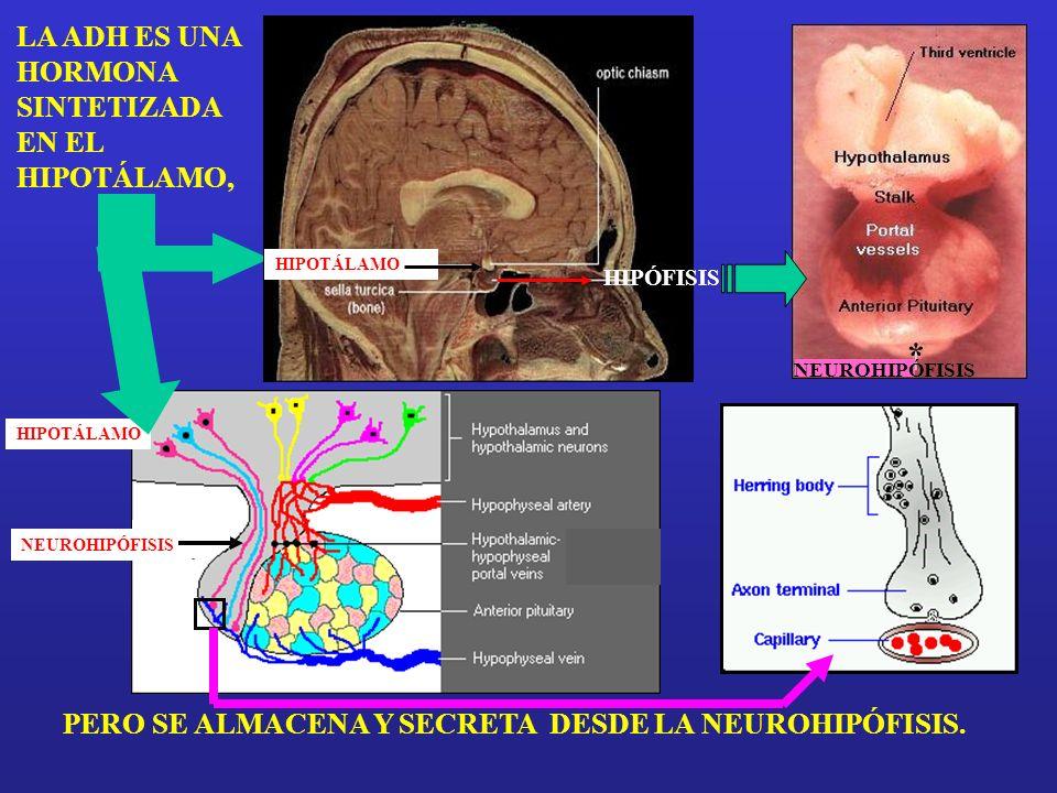 LA ADH ES UNA HORMONA SINTETIZADA EN EL HIPOTÁLAMO, PERO SE ALMACENA Y SECRETA DESDE LA NEUROHIPÓFISIS.