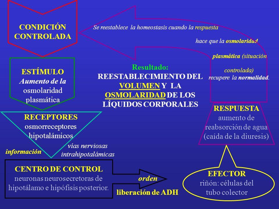 ADH AC LUZ TUBULAR INSTERSTICIO ADH: MECANISMO DE ACCIÓN CELULAR H2OH2O Receptor ADH La unión de la ADH a su RECEPTOR de membrana genera la ACTIVACIÓN