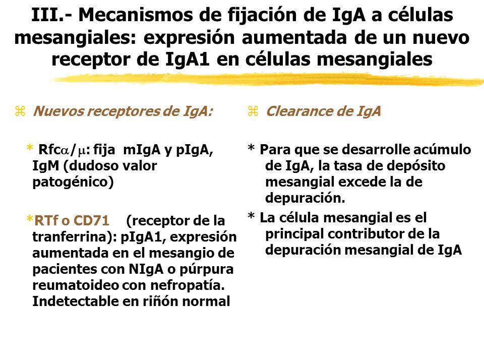 III.- Mecanismos de fijación de IgA a células mesangiales: expresión aumentada de un nuevo receptor de IgA1 en células mesangiales zNuevos receptores