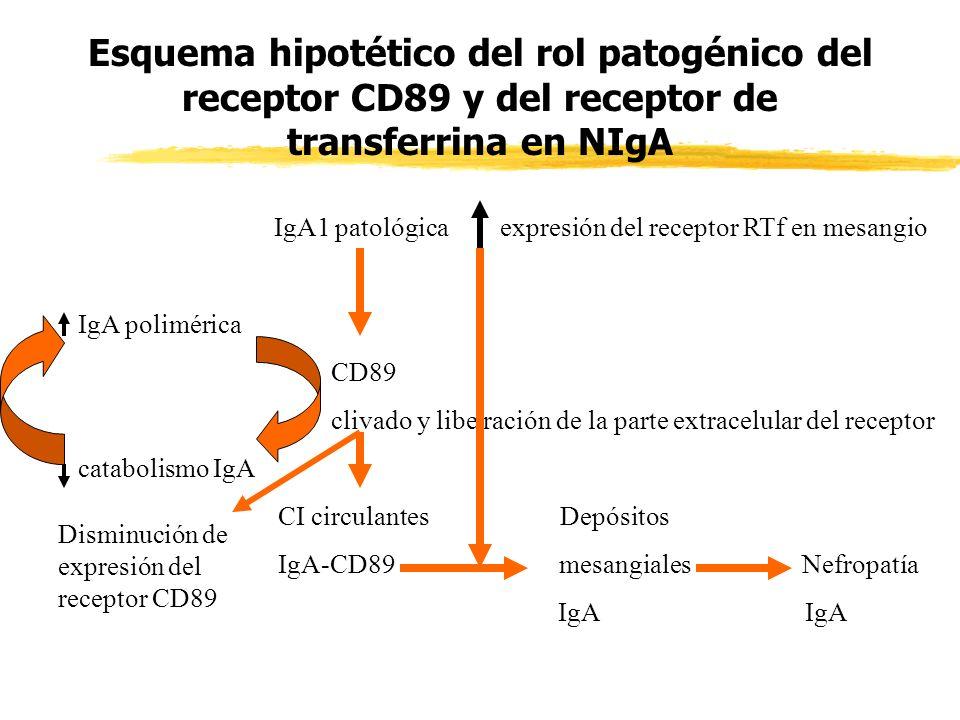 Esquema hipotético del rol patogénico del receptor CD89 y del receptor de transferrina en NIgA IgA1 patológica expresión del receptor RTf en mesangio