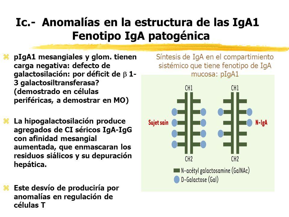 Ic.- Anomalías en la estructura de las IgA1 Fenotipo IgA patogénica zpIgA1 mesangiales y glom. tienen carga negativa: defecto de galactosilación: por