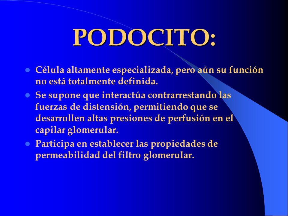 PODOCITO: Célula altamente especializada, pero aún su función no está totalmente definida. Se supone que interactúa contrarrestando las fuerzas de dis