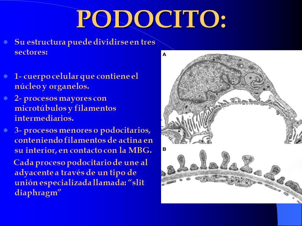 PODOCITO: Su estructura puede dividirse en tres sectores: 1- cuerpo celular que contiene el núcleo y organelos. 2- procesos mayores con microtúbulos y