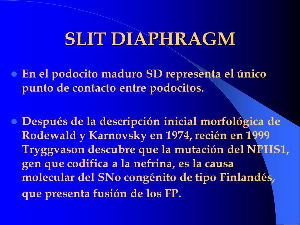 SLIT DIAPHRAGM En el podocito maduro SD representa el único punto de contacto entre podocitos. Después de la descripción inicial morfológica de Rodewa