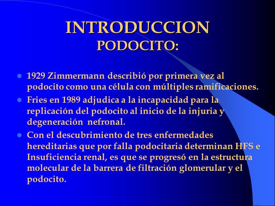 INTRODUCCION PODOCITO: 1929 Zimmermann describió por primera vez al podocito como una célula con múltiples ramificaciones. Fries en 1989 adjudica a la