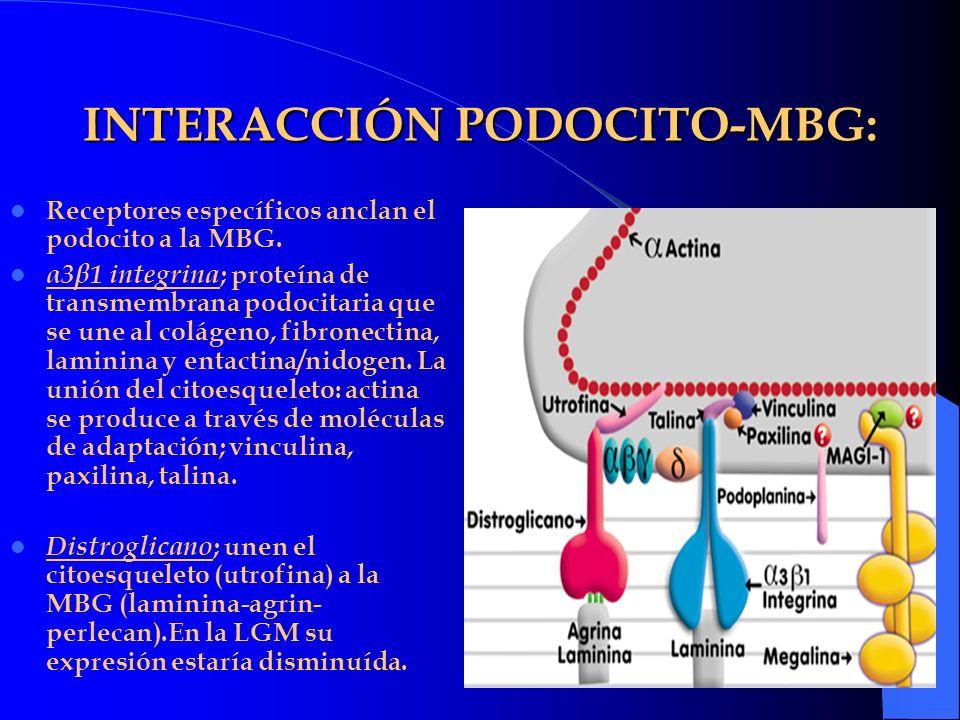 INTERACCIÓN PODOCITO-MBG: Receptores específicos anclan el podocito a la MBG. α3β1 integrina ; proteína de transmembrana podocitaria que se une al col