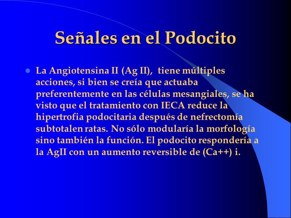 Señales en el Podocito La Angiotensina II (Ag II), tiene múltiples acciones, si bien se creía que actuaba preferentemente en las células mesangiales,