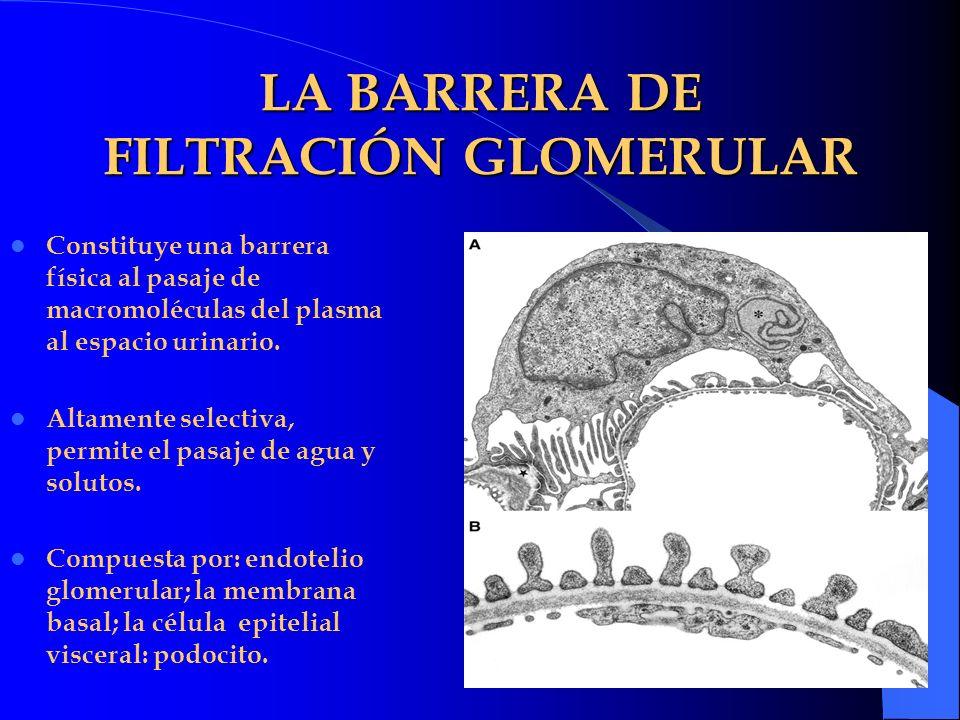 LA BARRERA DE FILTRACIÓN GLOMERULAR Constituye una barrera física al pasaje de macromoléculas del plasma al espacio urinario. Altamente selectiva, per