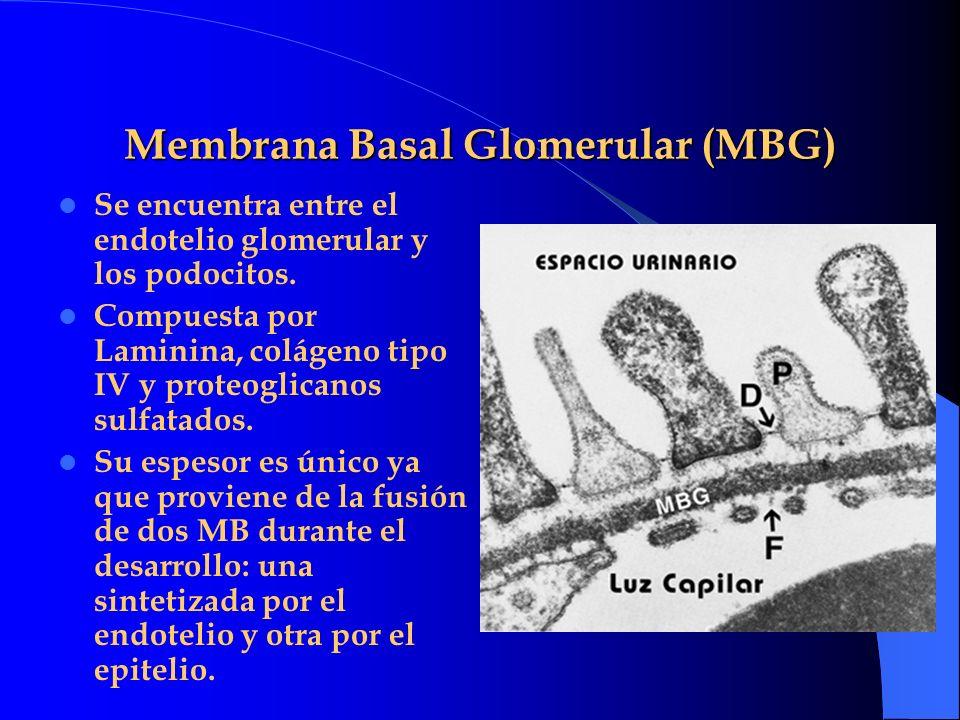 Membrana Basal Glomerular (MBG) Se encuentra entre el endotelio glomerular y los podocitos. Compuesta por Laminina, colágeno tipo IV y proteoglicanos
