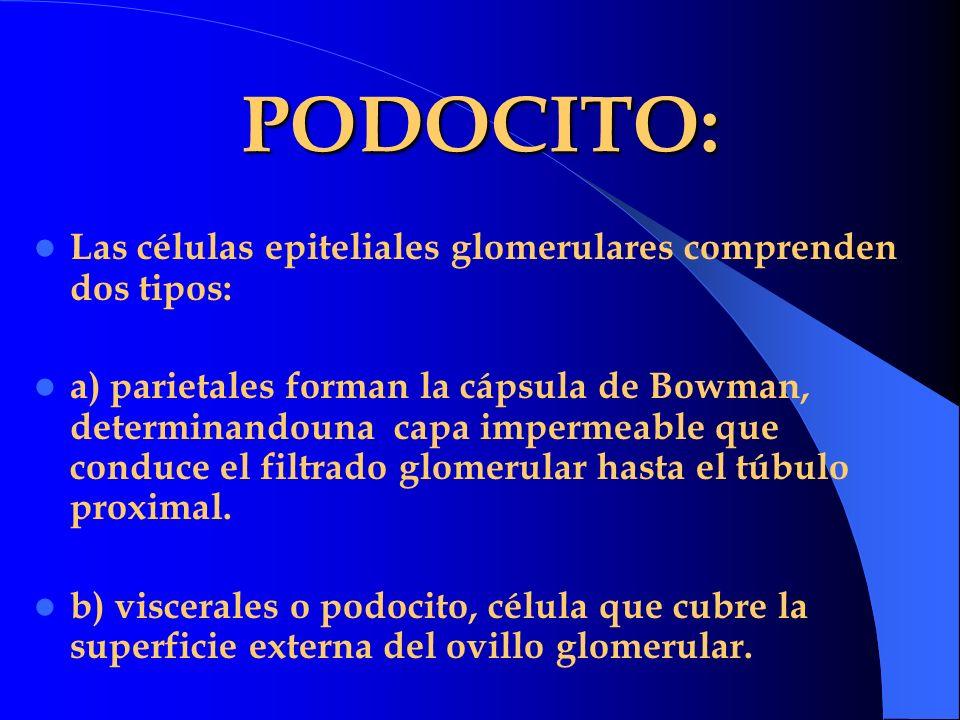 PODOCITO: Las células epiteliales glomerulares comprenden dos tipos: a) parietales forman la cápsula de Bowman, determinandouna capa impermeable que c