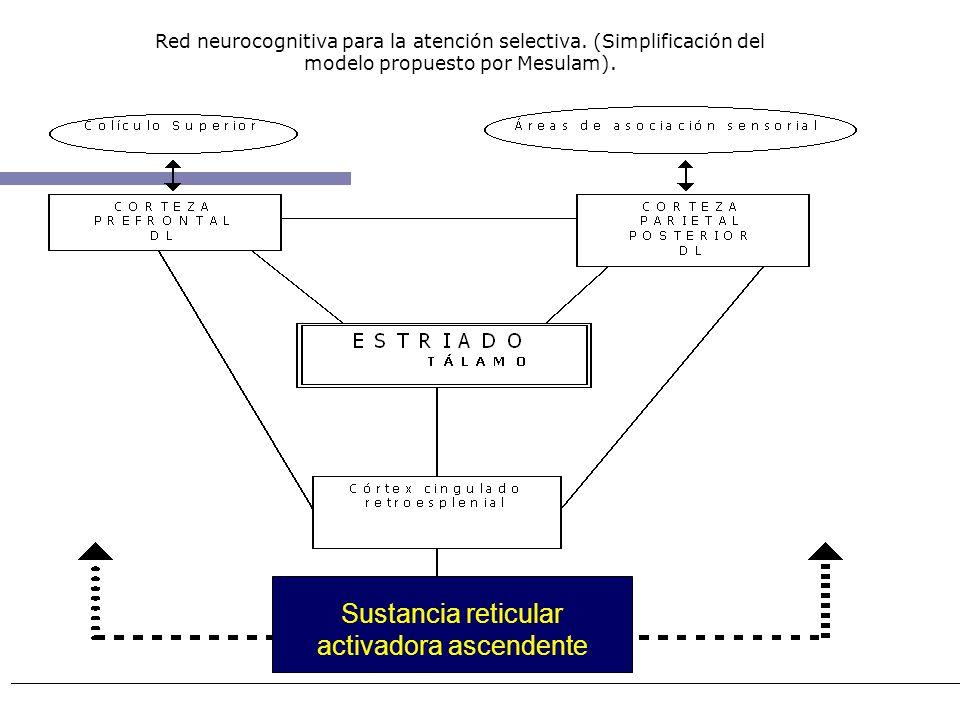 Red neurocognitiva para la atención selectiva. (Simplificación del modelo propuesto por Mesulam). Sustancia reticular activadora ascendente