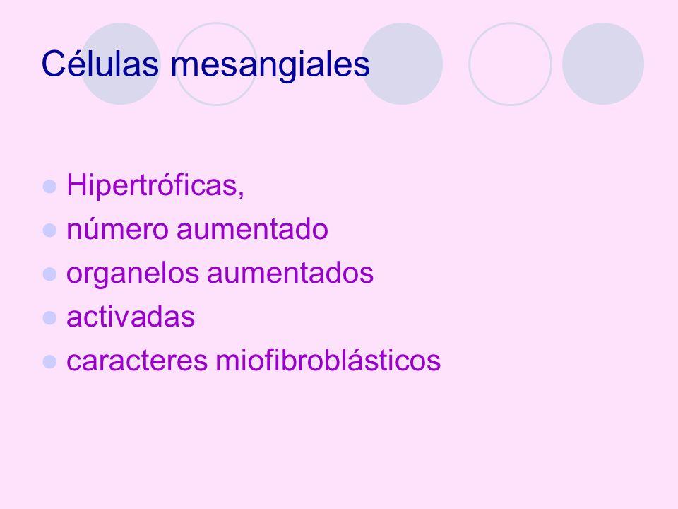 Células mesangiales Hipertróficas, número aumentado organelos aumentados activadas caracteres miofibroblásticos