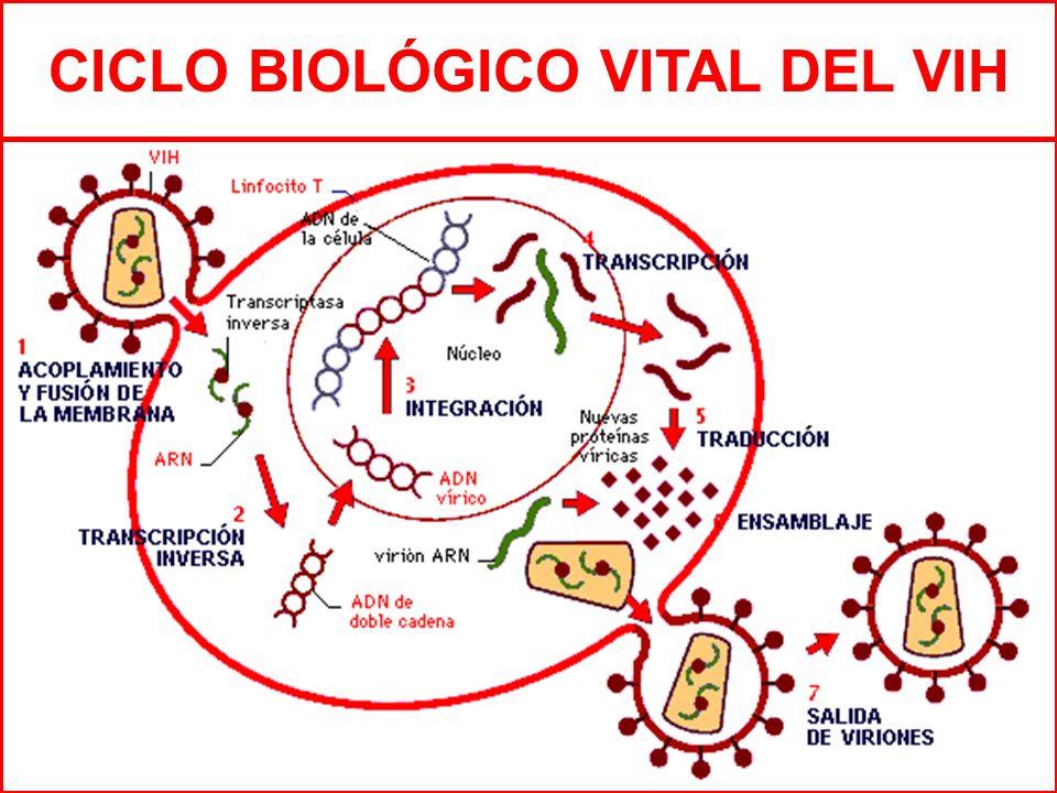 CICLO BIOLÓGICO VITAL DEL VIH