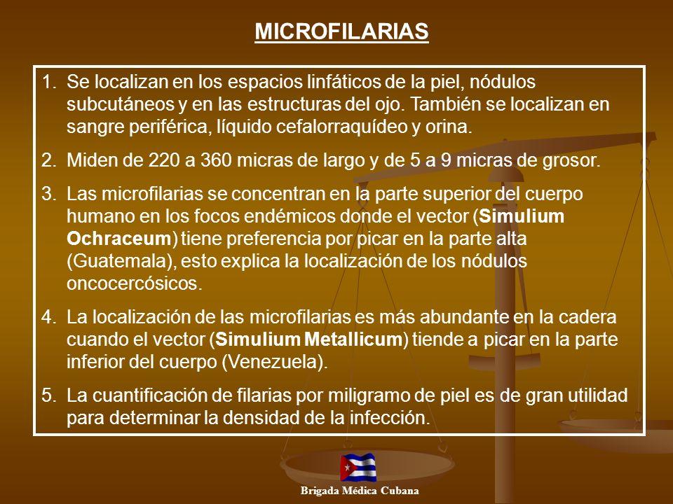 MICROFILARIAS 1.Se localizan en los espacios linfáticos de la piel, nódulos subcutáneos y en las estructuras del ojo. También se localizan en sangre p