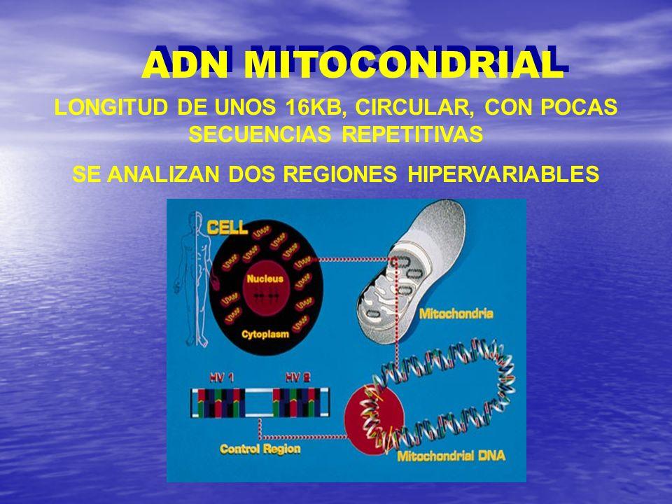 ADN MITOCONDRIAL LONGITUD DE UNOS 16KB, CIRCULAR, CON POCAS SECUENCIAS REPETITIVAS SE ANALIZAN DOS REGIONES HIPERVARIABLES