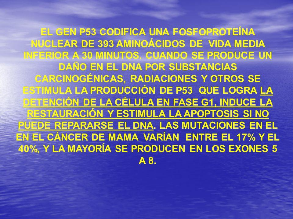 EL GEN P53 CODIFICA UNA FOSFOPROTEÍNA NUCLEAR DE 393 AMINOÁCIDOS DE VIDA MEDIA INFERIOR A 30 MINUTOS. CUANDO SE PRODUCE UN DAÑO EN EL DNA POR SUBSTANC