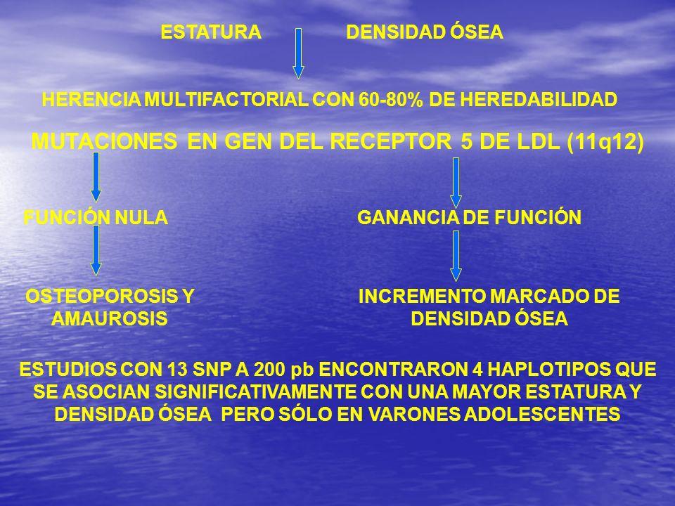 ESTATURADENSIDAD ÓSEA HERENCIA MULTIFACTORIAL CON 60-80% DE HEREDABILIDAD MUTACIONES EN GEN DEL RECEPTOR 5 DE LDL (11q12) FUNCIÓN NULA OSTEOPOROSIS Y