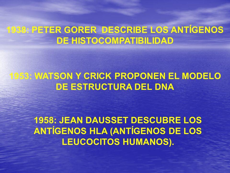 1938: PETER GORER DESCRIBE LOS ANTÍGENOS DE HISTOCOMPATIBILIDAD 1958: JEAN DAUSSET DESCUBRE LOS ANTÍGENOS HLA (ANTÍGENOS DE LOS LEUCOCITOS HUMANOS). 1