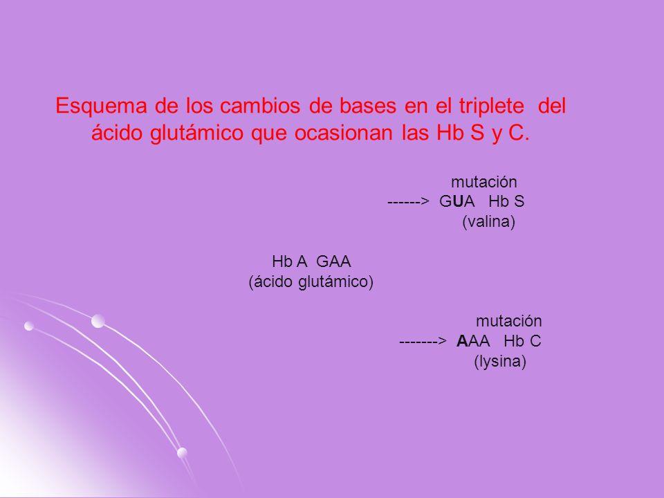 Esquema de los cambios de bases en el triplete del ácido glutámico que ocasionan las Hb S y C. mutación ------> GUA Hb S (valina) Hb A GAA (ácido glut