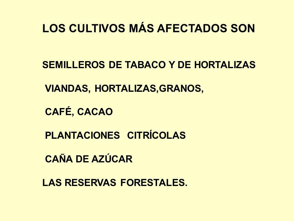 LOS CULTIVOS MÁS AFECTADOS SON SEMILLEROS DE TABACO Y DE HORTALIZAS VIANDAS, HORTALIZAS,GRANOS, CAFÉ, CACAO PLANTACIONES CITRÍCOLAS CAÑA DE AZÚCAR LAS